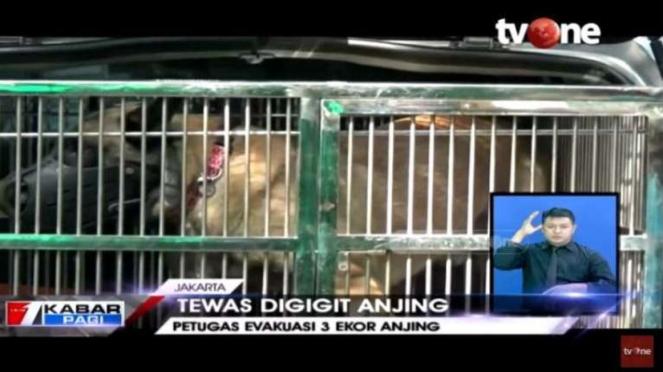Anjing Belgian Malinois gigit seorang asisten rumah tangga hingga tewas.