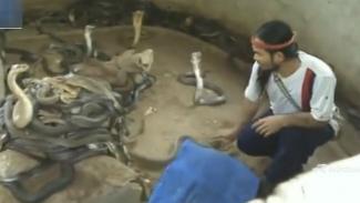 Ratusan ular kobra dalam satu kandang.