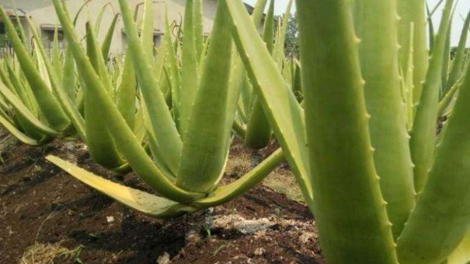 Aloe Vera atau Lidah Buaya