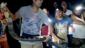 Penangkapan ular king kobra.