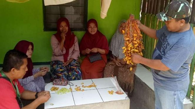 Pohon kurma yang berbuah di Bogor, Jawa Barat.