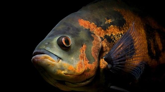 Ikan Oscar | Wikipedia