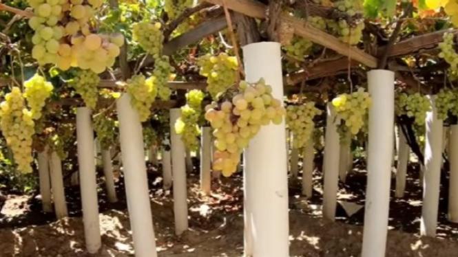 Buah anggur di perkebunan di Taif.
