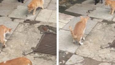 Kucing vs kobra
