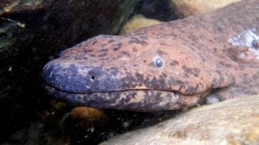 https://thumb.viva.co.id/media/frontend/thumbs3/2019/09/18/5d815ab12e47b-amfibi-terbesar-dunia-salamander-raksasa-di-china-selatan-sepanjang-hampir-dua-meter-ditemukan_375_211.jpg