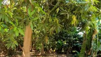 Hutan lebat di Arab Saudi.