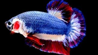 Ikan Cupang Kachen Worachai