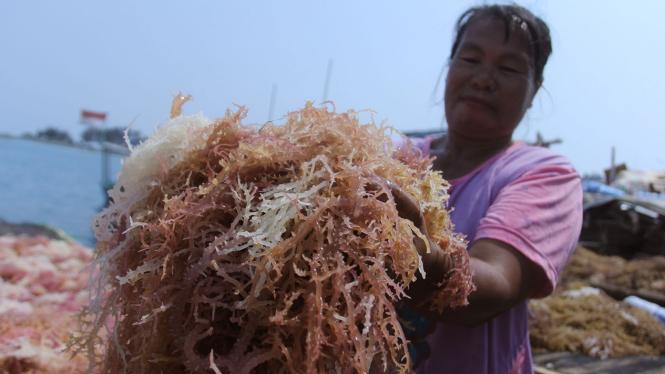 Budidaya Rumput Laut di Kepulauan Seribu