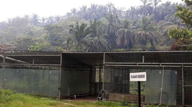 Pusat rehabilitasi Harimau Sumatera Dharmasraya (PR-HSD), Sumatera Barat.