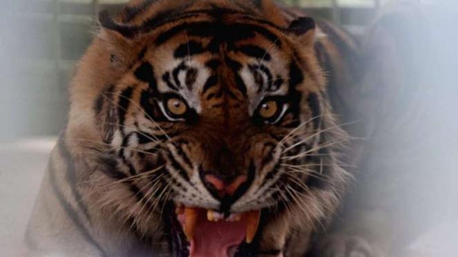 Harimau Palas di pusat rehabilitasi Harimau Sumatera Dharmasraya (PR-HSD).