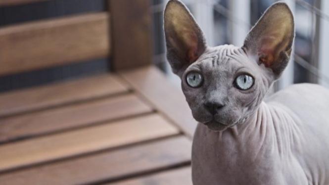 Kucing Peter Bald