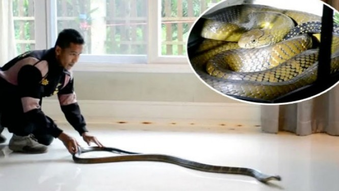 Penangkapan ular king kobra di rumah warga.