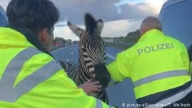https://thumb.viva.co.id/media/frontend/thumbs3/2019/10/03/5d95cfb9f2e99-seekor-zebra-di-jerman-mati-ditembak-setelah-masuk-ke-jalan-tol_375_211.jpg