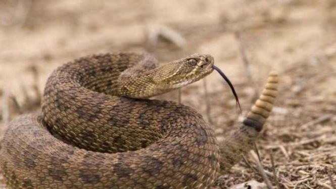 Ular Mojave Rattlesnake (derik)