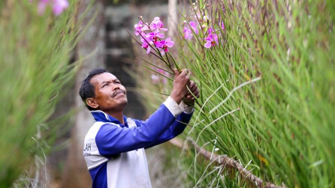 Panen Bunga Anggrek Turun Akibat Kemarau Panjang
