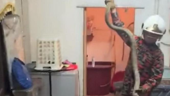 Ular king kobra ditangkap di rumah.