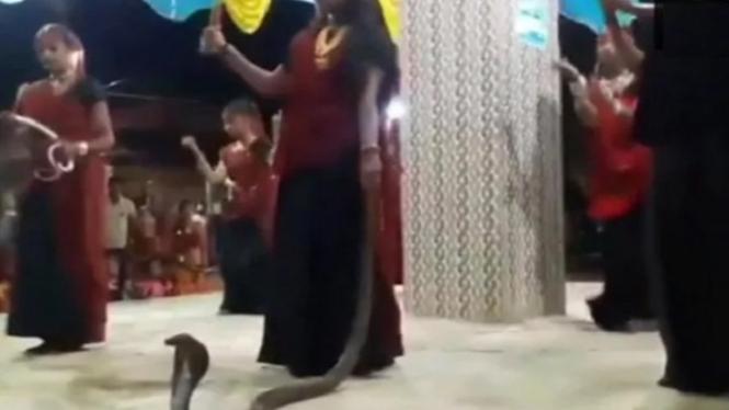Wanita pegang ular kobra.