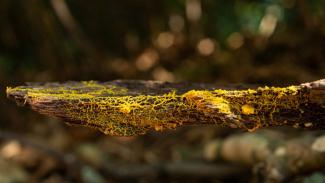 Gumpalan organisme, Physarum polycephalum