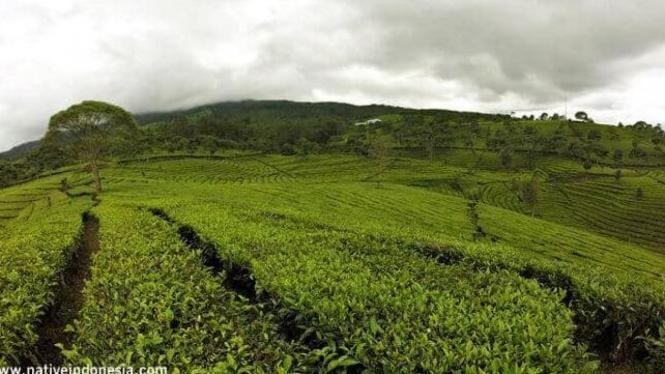 Poto pemandangan teh sukawana