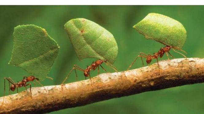 Semut merupakan serangga yang berkoloni besa dan memiliki pola kehidupan sosial yang terorganisir.