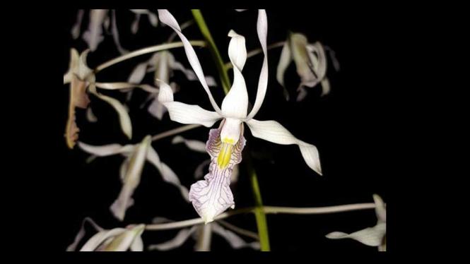 Dendrobium nagataksaka, anggrek berkepala naga