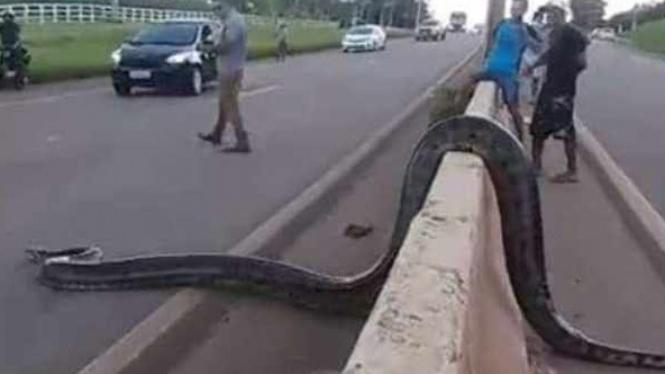 Ular Anaconda