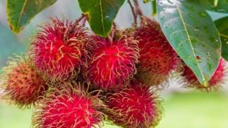 https://thumb.viva.co.id/media/frontend/thumbs3/2019/11/11/5dc94e3522edc-buah-rambutan-memiliki-manfaat-kesehatan-yang-berlimpah_325_183.jpg