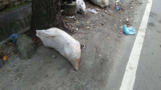 Bangkai babi dibuang di pinggir jalan di Kota Medan, Sumut.