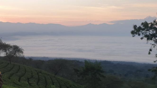 Bukit Kuneer Wonosari, Wisata Kebun Teh di Lereng Gunung Arjuno