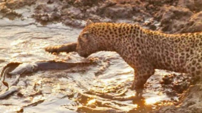 Macan tutul berburu ikan lele.