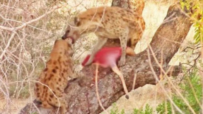 Hyena berebut daging jarahan.