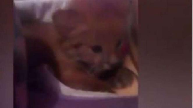 Anak kucing liar diadopsi ternyata puma