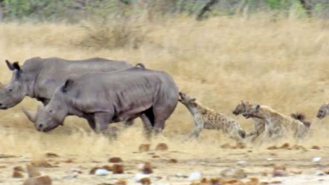 Badak dikejar hyena.
