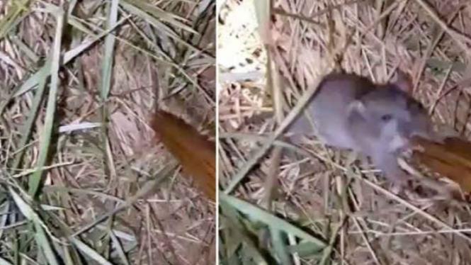 Menangkap tikus dengan bambu.