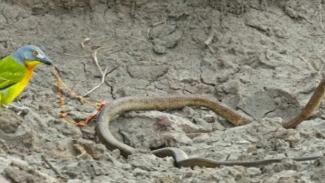 Burung kecil makan ular.