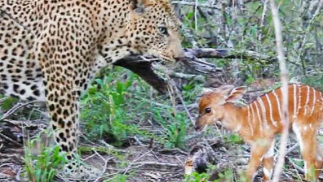 Bayi rusa vs macan tutul.