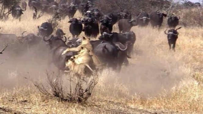 Kawanan singa berburu kerbau liar.
