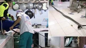 Penangkapan ular king kobra di dapur.
