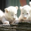 White Lion Cubs.