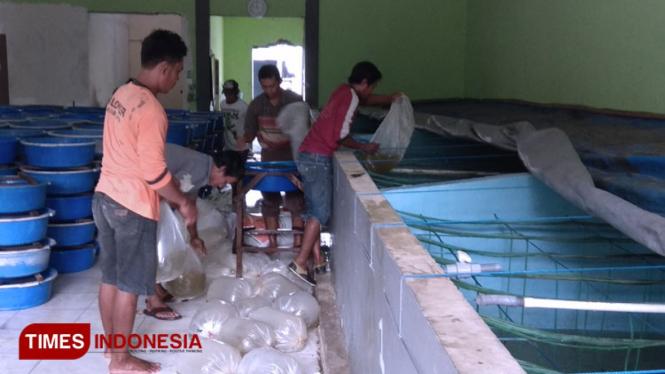 Para pekerja di kios benih ikan Mudah Jaya Lamongan, memindahkan benih ikan yang baru datang ke dalam bak penampungan, Kamis (2/1/2020). (FOTO: MFA Rohmatillah/ TIMES Indonesia)
