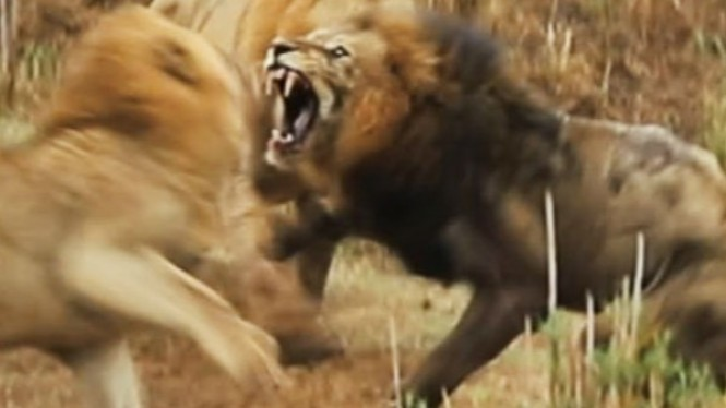 Pertarungan terakhir singa jantan tua.