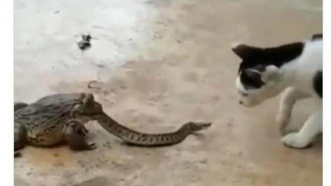 katak makan ular
