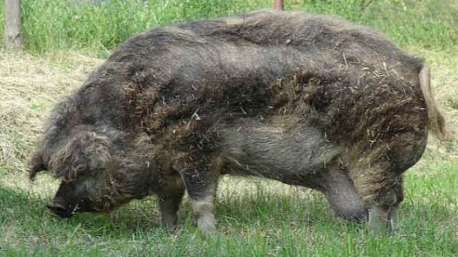Babi ternak besar.