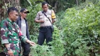 Puluhan pohon ganja ditemukan di lereng Gunung Guntur Garut, Jawa Barat.