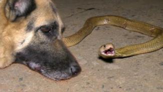 Anjing vs ular kobra.