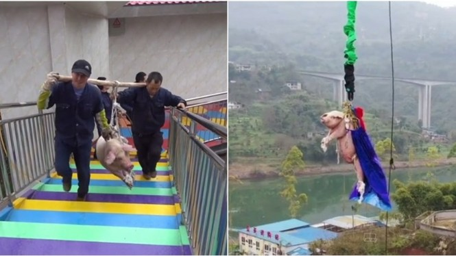 Babi dipaksa bungee jumping