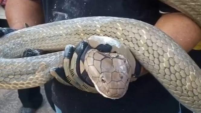 Ular king kobra.