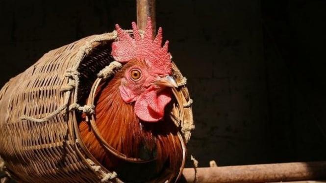 Hewan ayam.