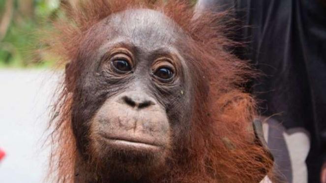 Penyelamatan orangutan korban kebakaran hutan di Ketapang Kalimantan Barat