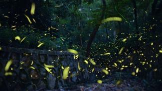 Wisata kunang-kunang semakin berkembang di beberapa negara termasuk Meksiko, Jepang, Malaysia dan India. - Getty Images